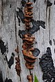 WildFireAreaNHorken1006-Fungus on coaled stump.JPG