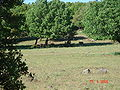 Wild Boars at Odem Forest Reserve DSC00735.JPG
