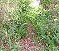 Wild Boston fern02.jpg