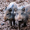 Wild boar (Sus scrofa) - two young ones - geograph.org.uk - 1063525.jpg