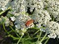 Wilde Möhre mit Insekt im Naturpark.JPG