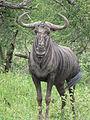 Wildebeest alert.JPG