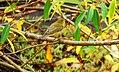 Willow warbler - Phylloscopus trochilus - Брезов певец.jpg