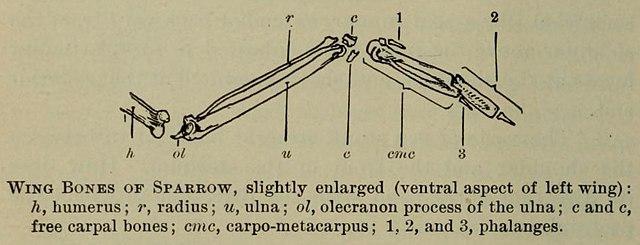 640px Wing_Bones_of_Sparrow file wing bones of sparrow jpg wikimedia commons