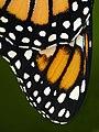Wing Detail (8494711052).jpg