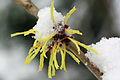 Witch Hazel Covered With Snow In Garden. Hampshire UK.jpg