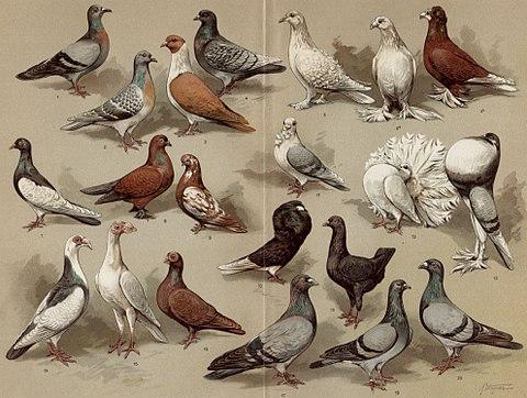 Many pigeons