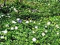 Woodland flowers - geograph.org.uk - 1275003.jpg