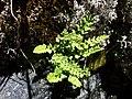 Woodsia alpina sl5.jpg