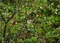 Wrightia tinctoria in Keesaraguda, AP W IMG 9078.jpg