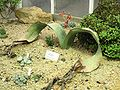 XN Welwitschia mirabilis 05.jpg
