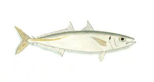 Mackerel scad - Mackerel scad (Decapterus macarellus)