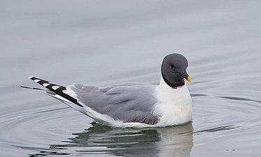 Xema sabini -Iceland -swimming-8.jpg