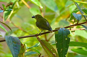 Yellow-breasted Flowerpecker (Prionochilus maculatus) eating fruit of Malabar Melastome (Melastoma malabathricum) (22892326433).jpg