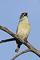 Yellow-fronted tinkerbird, Pogoniulus chrysoconus, at Walter Sisulu National Botanical Garden, South Africa (15819113978).jpg