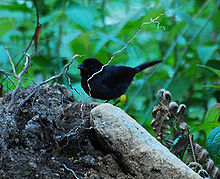Yellow-thighed Finch.jpg