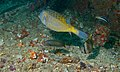 Yellow Boxfish (Ostracion cubicus), Yellowspot Butterflyfish (Chaetodon kleinii), Moon Wrasse (Thalassoma lunare) and Bluestreak Cleaner Wrasse (Labroides dimidiatus) (8502323001).jpg