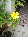 Yellow Primrose Plant.jpg
