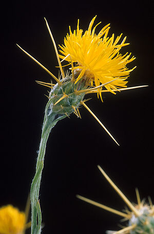 Plants such as this Yellow Star Thistle are co...
