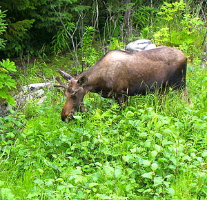 Browsing (herbivory) - Young Alaska moose browsing on alders