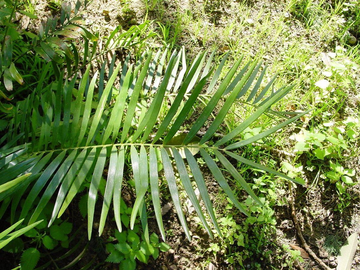 Zamia integrifolia wikipedia for Planta ornamental zamia