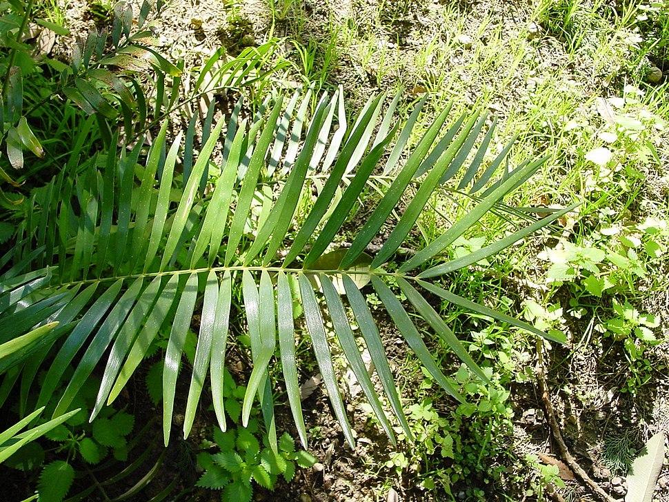 Zamia integrifolia02