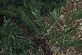 Zamia pumila coontie. Pine barrens. (38154663594).jpg