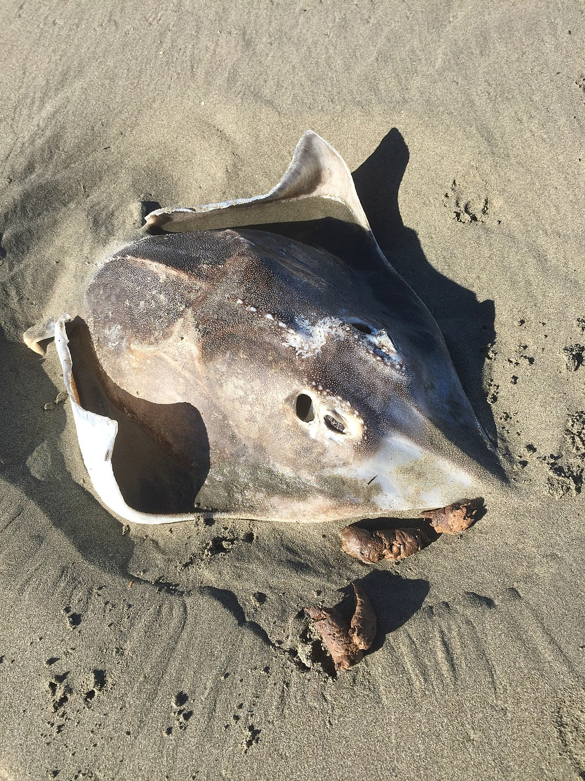 A Rough Guide To Types Of Scientific Evidence: New Zealand Rough Skate