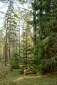 Zhekino NNov Coniferous Forest 0020.jpg