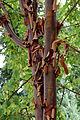 Zimt-Ahorn (Acer griseum) Stamm, Rinde.jpg