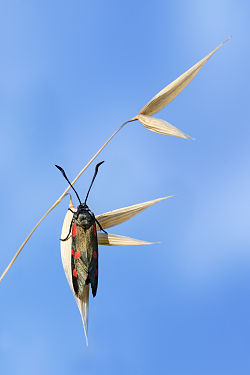 Zygaena filipendulae on Avena sativa.jpg