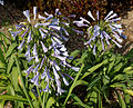 'Agapanthus Glen Avon' Capel Manor College Gardens Enfield London England.jpg