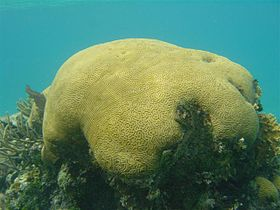Brain coral off the coast of Belize.