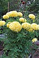 'Inca Primrose' marigold IMG 6643.jpg