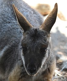 (1)Yellow footed rock wallaby-4a.jpg