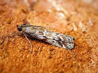 <i>Delplanqueia dilutella</i> Species of moth