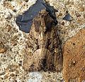 (2343) Common Rustic (Mesapamea secalis) (5970727644).jpg