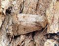 (2382) The Rustic (Hoplodrina blanda) - Flickr - Bennyboymothman.jpg