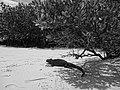 (Amblyrhynchus cristatus) Tortuga Bay Santa Cruz Island black and white photograph Galápagos Islands.JPG