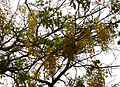 (Cassia fistula) flowers at IG Zoo park 01.JPG