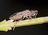 (MHNT) Strobilotoma typhaecornis - Profil.jpg
