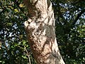 ¿ Litsea species ? (15399223005).jpg