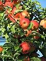 Äpfel aus der Südpfalz - panoramio.jpg
