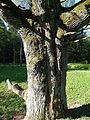 Šaukšteliškių ąžuolas, kamienas.JPG