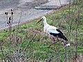 Белый аист - Ciconia ciconia - White stork - Бял щъркел - Weißstorch (33440224061).jpg