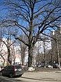 Віковий дуб на вулиці Михайла Омеляновича-Павленка 01.jpg