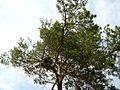 Дерево - panoramio - TurboMакс.jpg