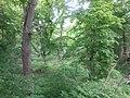Дуб звичайний 1 дерево.jpg