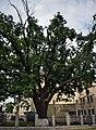Дуб черешчатий, м. Полтава, вул. Шевченка, 1 - 2015-07-02 024.jpg