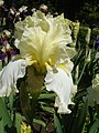 Колекція ірісів в ботанічному саду ТНУ 04.jpg